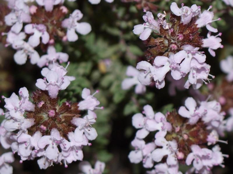 Fleur Thym